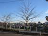 田園調布の桜の木