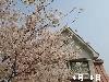 桜の春と秋